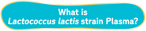 What is Lactococcus lactis strain Plasma?